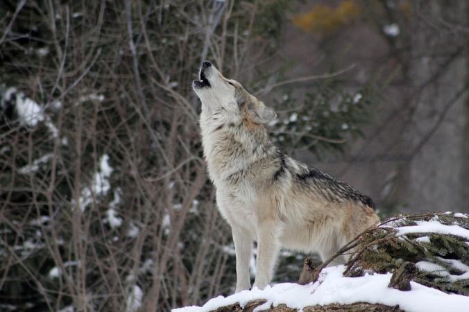 wolf-1992716_960_720